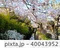 春 桜 哲学の道の写真 40043952