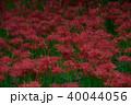 曼珠沙華 彼岸花 花の写真 40044056