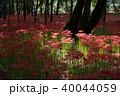 巾着田 曼珠沙華 彼岸花の写真 40044059
