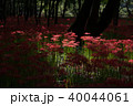 巾着田 曼珠沙華 彼岸花の写真 40044061