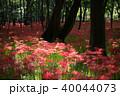 巾着田 曼珠沙華 彼岸花の写真 40044073