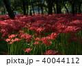 巾着田 曼珠沙華 彼岸花の写真 40044112
