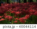 巾着田 曼珠沙華 彼岸花の写真 40044114