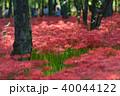 巾着田 曼珠沙華 彼岸花の写真 40044122