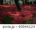 巾着田 曼珠沙華 彼岸花の写真 40044124