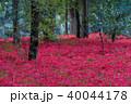 巾着田 曼珠沙華 彼岸花の写真 40044178