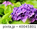 紫陽花 アジサイ あじさいの写真 40045801