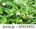 ミツバチ 40054601