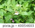 ミツバチ 40054603