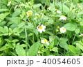 ミツバチ 40054605
