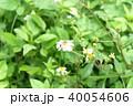 ミツバチ 40054606