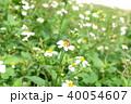 ミツバチ 40054607
