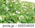 ミツバチ 40054609