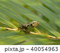 日本最小のセミ イワサキクサゼミ 40054963