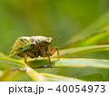 日本最小のセミ イワサキクサゼミ 40054973