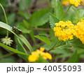 日本最小のセミ イワサキクサゼミ 40055093