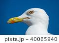 big seagull close up portrait 40065940