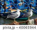 Seagulls and blue boats in Essaouira 40065944