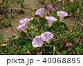 花 植物 浜昼顔の写真 40068895