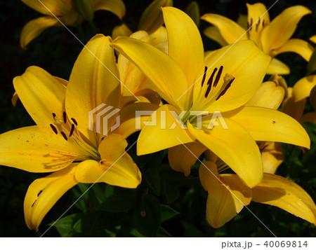 黄色い花びらのユリの花 40069814