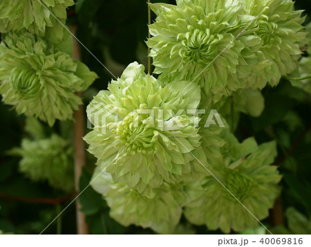 緑色のクレマチス 40069816