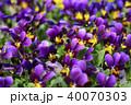 神戸ビオラ 草花 植物の写真 40070303
