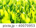 静岡県の茶畑 40070953