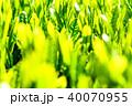 静岡県の茶畑 40070955