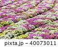 リビングストンデイジー 花 花畑の写真 40073011