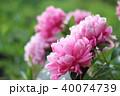 牡丹 花 植物の写真 40074739