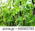古代エンドウ豆 エンドウ豆 豆の写真 40083793