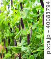 古代エンドウ豆 エンドウ豆 さやえんどうの写真 40083794
