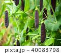 古代エンドウ豆 エンドウ豆 豆の写真 40083798