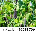 古代エンドウ豆 エンドウ豆 豆の写真 40083799