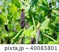 古代エンドウ豆 エンドウ豆 豆の写真 40083801