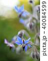 ハーブ 花 植物の写真 40084599