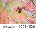 土肥桜とメジロ 40084629