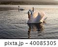 山中湖の白鳥 40085305