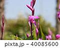 シラン 花 植物の写真 40085600