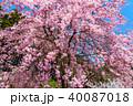 桜 花 満開の写真 40087018
