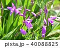 シラン 紫色 花の写真 40088825