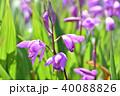 シラン 紫色 花の写真 40088826