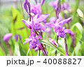 シラン 紫色 花の写真 40088827