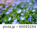 ネモフィラ 花 植物の写真 40093294