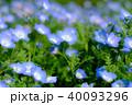 ネモフィラ 花畑 花の写真 40093296