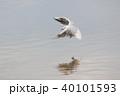 ユリカモメ (百合鴎) その26。 Black headed gull 40101593