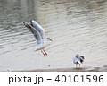 ユリカモメ (百合鴎) その27。 Black headed gull 40101596