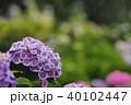 雨 花 あじさいの写真 40102447