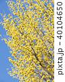 サンシュユ ハルコガネバナ 山茱萸の写真 40104650