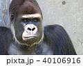 ゴリラ 40106916